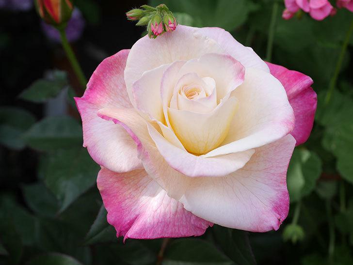 アブラカタブラ(Abracadabra)の花が増えてきた。木立バラ。2021年-029.jpg