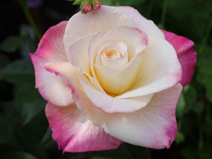 アブラカタブラ(Abracadabra)の花が増えてきた。木立バラ。2021年-030.jpg