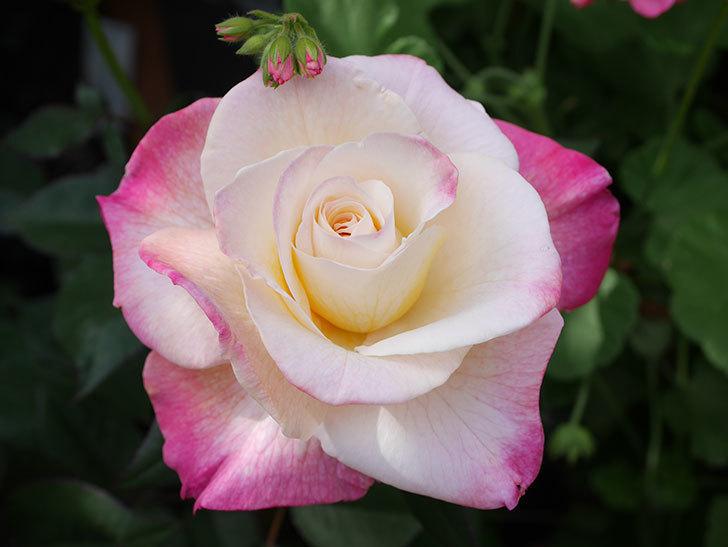 アブラカタブラ(Abracadabra)の花が増えてきた。木立バラ。2021年-031.jpg