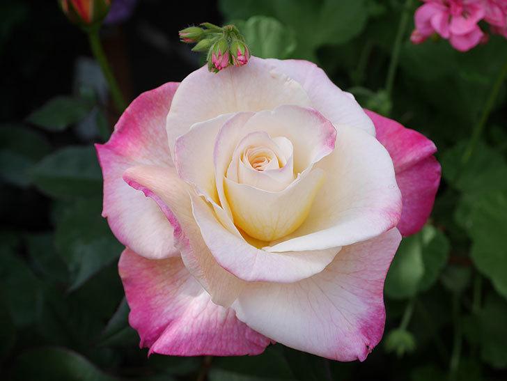 アブラカタブラ(Abracadabra)の花が増えてきた。木立バラ。2021年-032.jpg