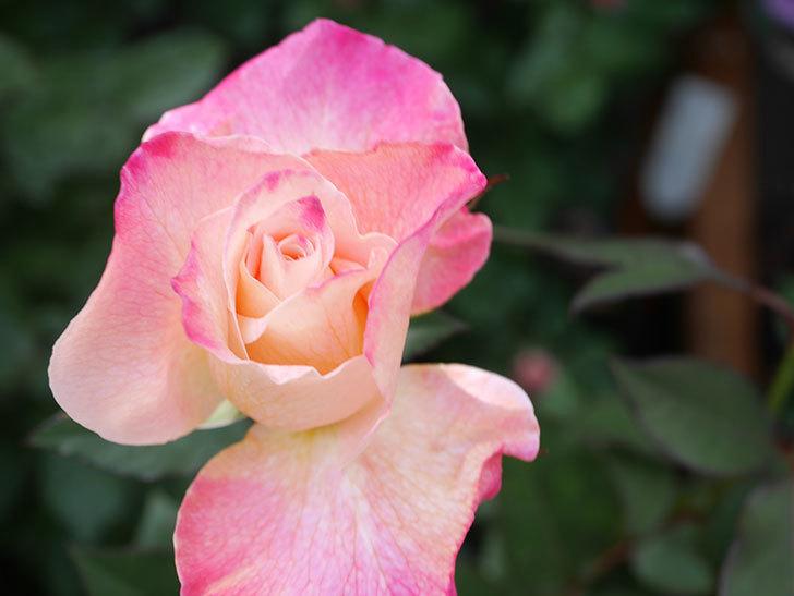 アブラカタブラ(Abracadabra)の花が増えてきた。木立バラ。2021年-033.jpg