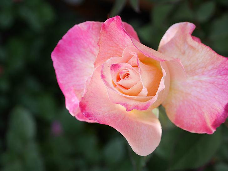 アブラカタブラ(Abracadabra)の花が増えてきた。木立バラ。2021年-034.jpg