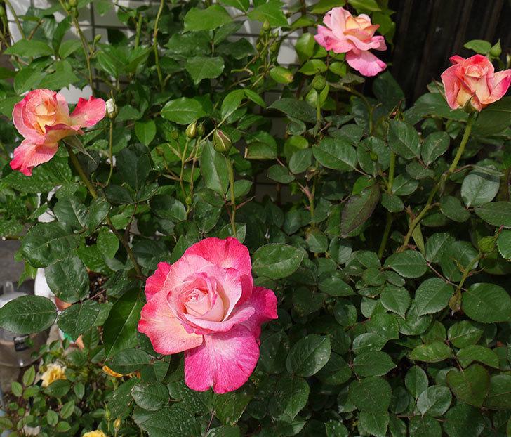 アブラカタブラ(バラ)が咲いた。2016年-12.jpg