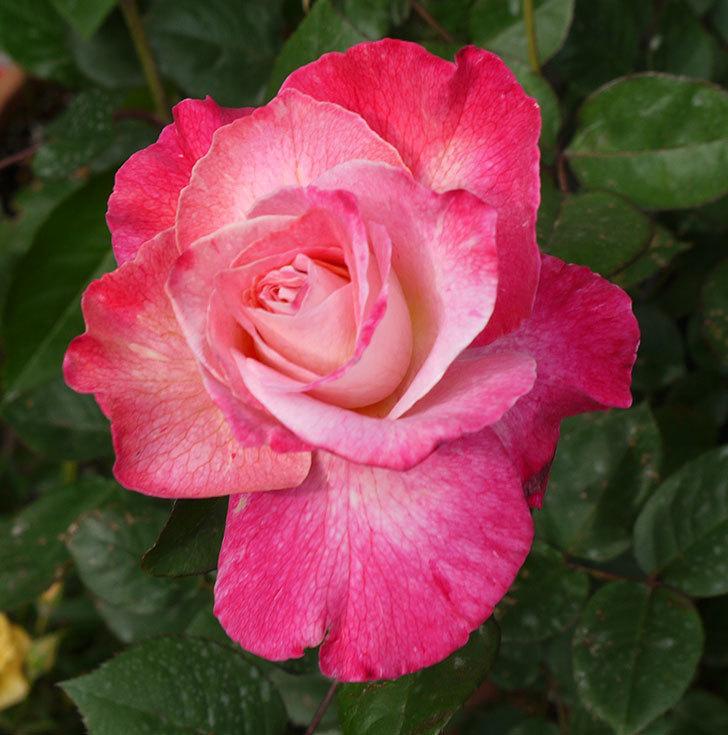 アブラカタブラ(バラ)が咲いた。2016年-13.jpg
