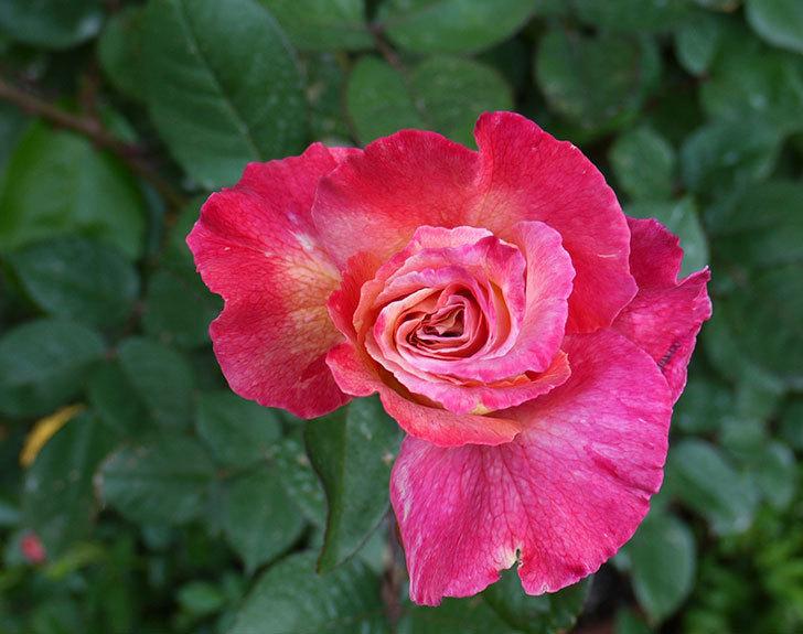 アブラカタブラ(バラ)が咲いた。2016年-2.jpg