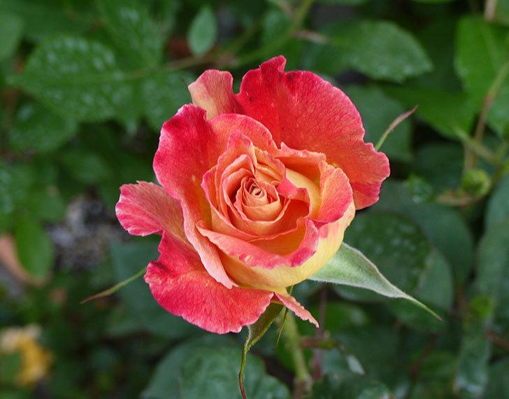 アブラカタブラ(バラ)が咲いた。2016年-3.jpg