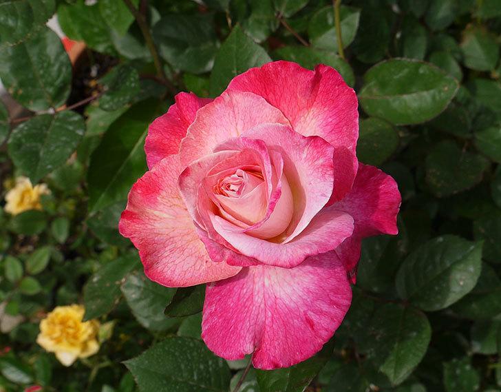 アブラカタブラ(バラ)が咲いた。2016年-6.jpg