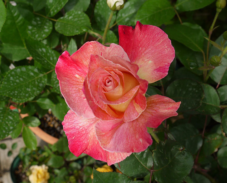 アブラカタブラ(バラ)が咲いた。2016年-8.jpg