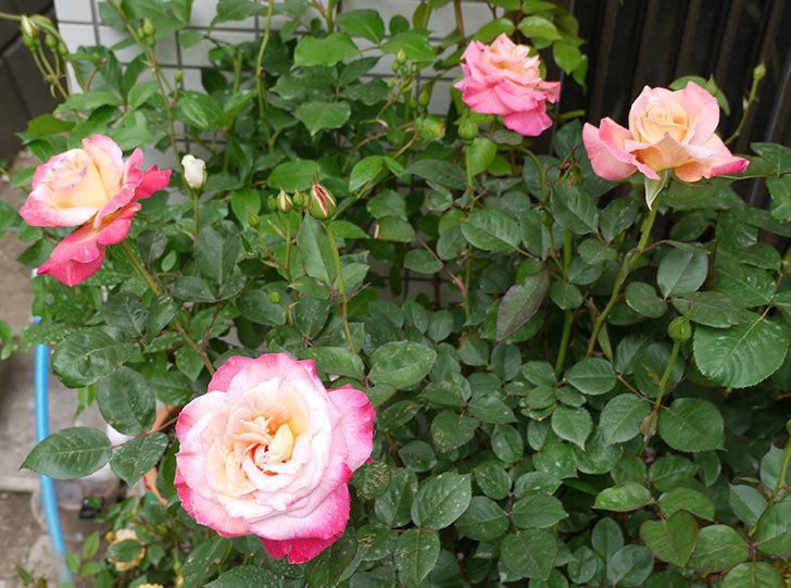 アブラカタブラ(バラ)の花が4個が咲いた。2016年-1.jpg