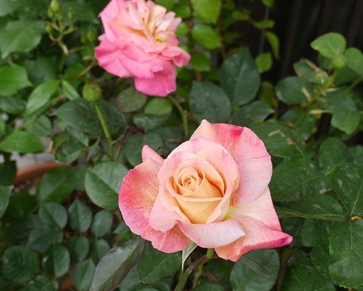 アブラカタブラ(バラ)の花が4個が咲いた。2016年-2.jpg
