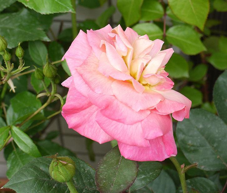 アブラカタブラ(バラ)の花が4個が咲いた。2016年-6.jpg
