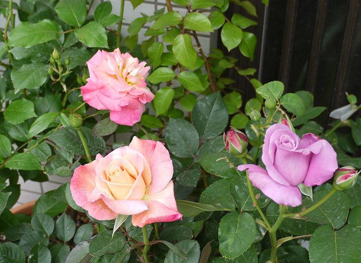 アブラカタブラ(バラ)の花が4個が咲いた。2016年-8.jpg