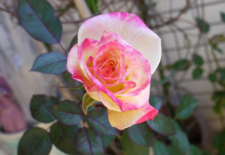 アブラカタブラ(バラ)の花がやっと咲いた。2016年-1.jpg