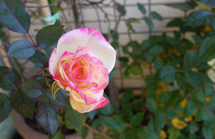 アブラカタブラ(バラ)の花がやっと咲いた。2016年-2.jpg