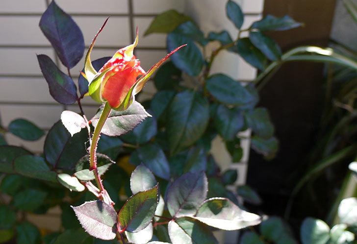 アブラカタブラ(バラ)の花がやっと咲いた。2016年-3.jpg