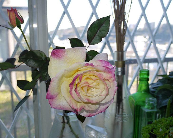アブラカタブラ(バラ)の花を切り花にした。2016年-1.jpg