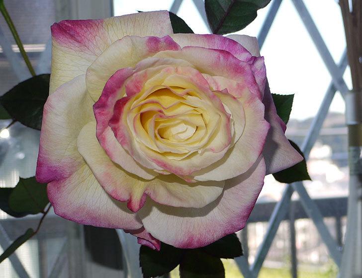 アブラカタブラ(バラ)の花を切り花にした。2016年-2.jpg