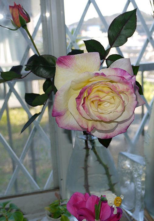 アブラカタブラ(バラ)の花を切り花にした。2016年-3.jpg