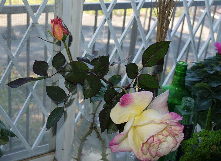 アブラカタブラ(バラ)の花を切り花にした。2016年-5.jpg