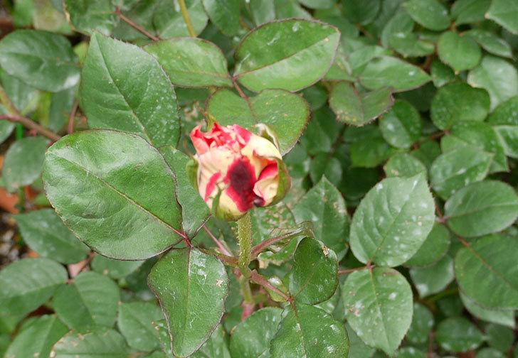 アブラカタブラ(バラ)の蕾がでかくなってきた。2016年-1.jpg