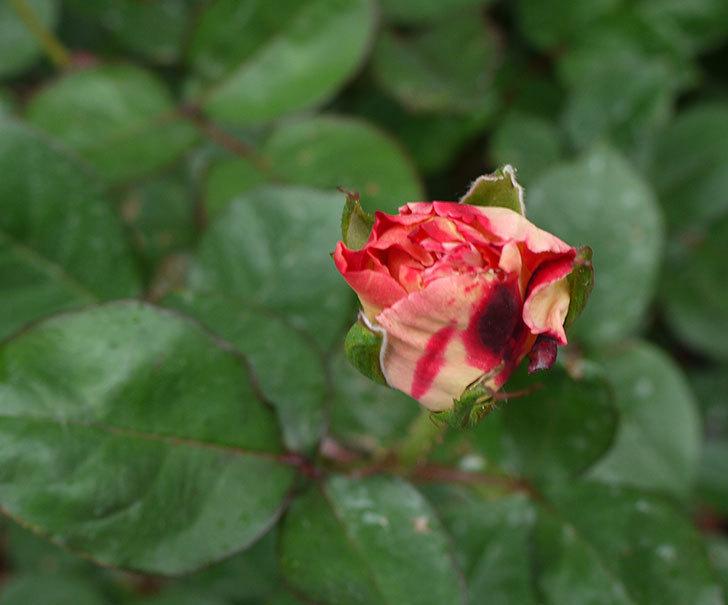 アブラカタブラ(バラ)の蕾がでかくなってきた。2016年-3.jpg
