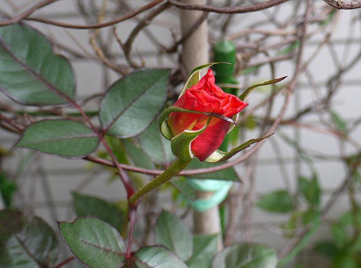アブラカタブラ(バラ)の蕾が大きくなってきた。2016年-1.jpg