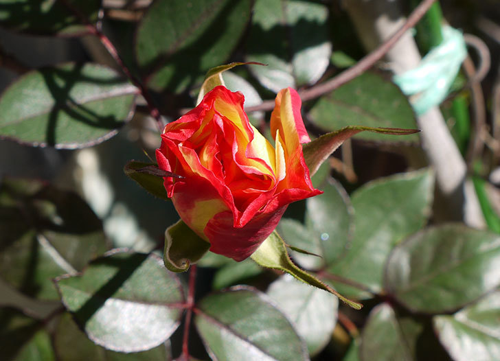 アブラカタブラ(バラ)の蕾が開き始めた。2016年-1.jpg