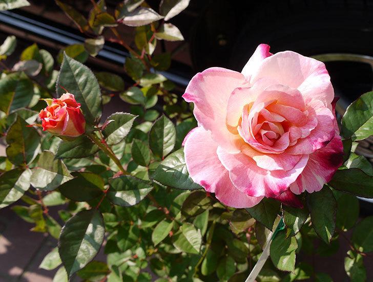 アブラカタブラ(バラ)の開花苗をホームズで買ってきた1.jpg