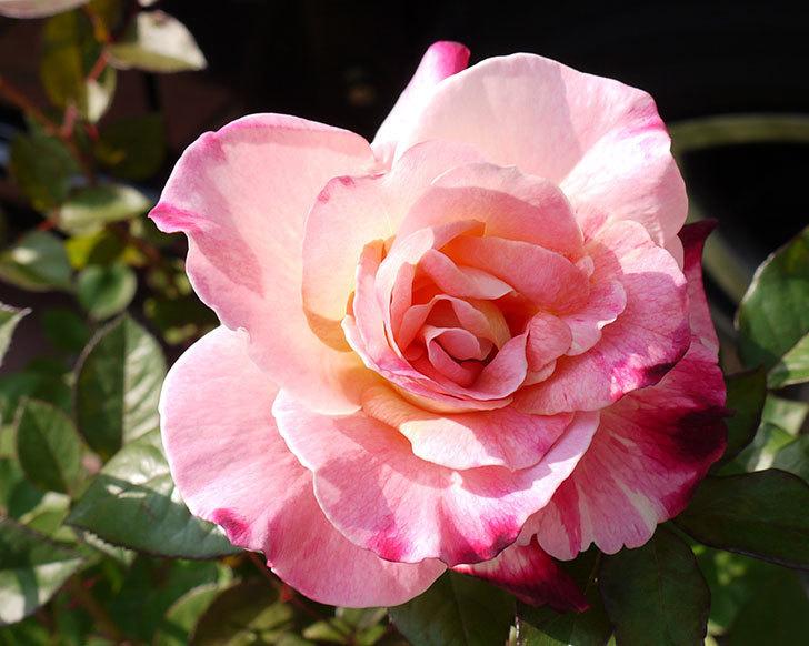 アブラカタブラ(バラ)の開花苗をホームズで買ってきた2.jpg