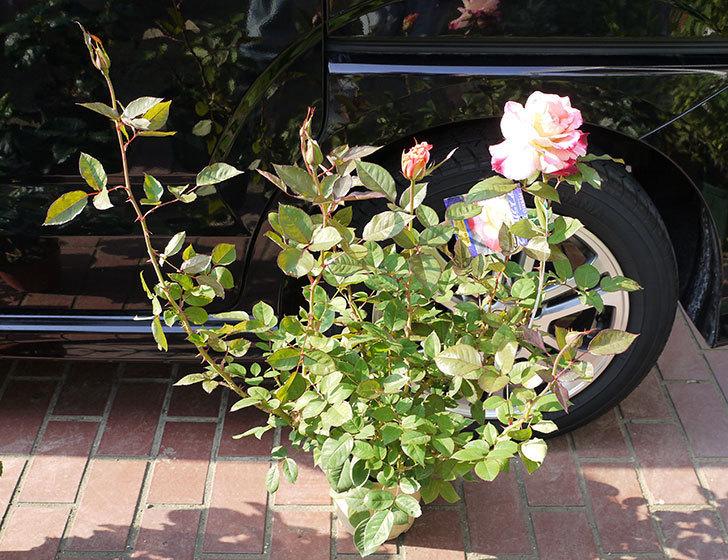 アブラカタブラ(バラ)の開花苗をホームズで買ってきた3.jpg