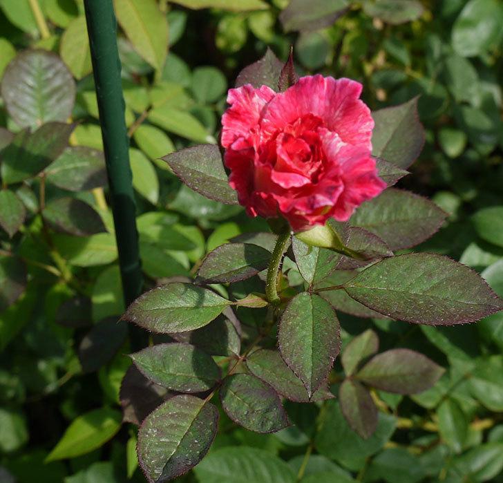 アブラカタブラ(木立バラ)がまた咲いた。2016年-1.jpg