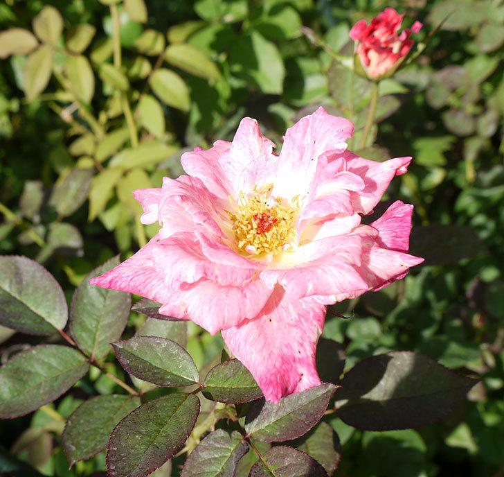 アブラカタブラ(木立バラ)がまた咲いた。2016年-2.jpg