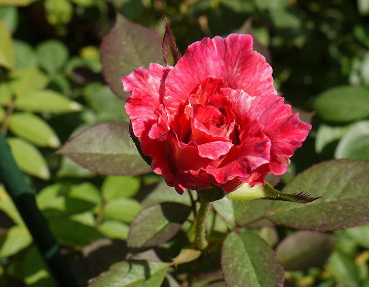 アブラカタブラ(木立バラ)がまた咲いた。2016年-3.jpg
