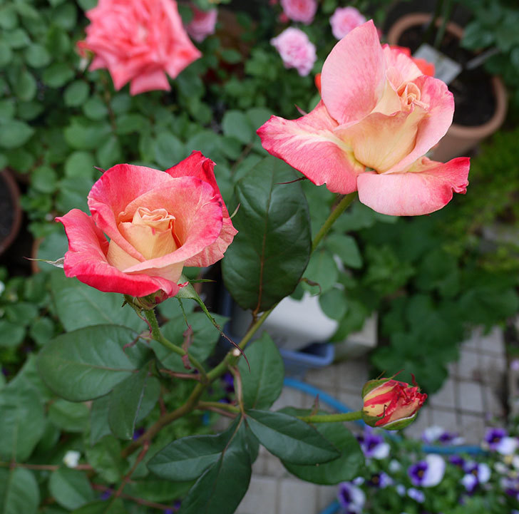 アブラカタブラ(木立バラ)がまた咲いた。2017年-1.jpg
