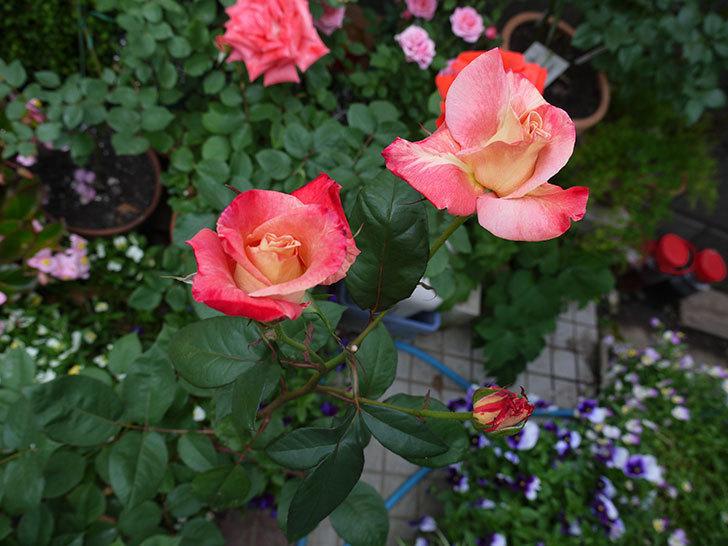 アブラカタブラ(木立バラ)がまた咲いた。2017年-2.jpg