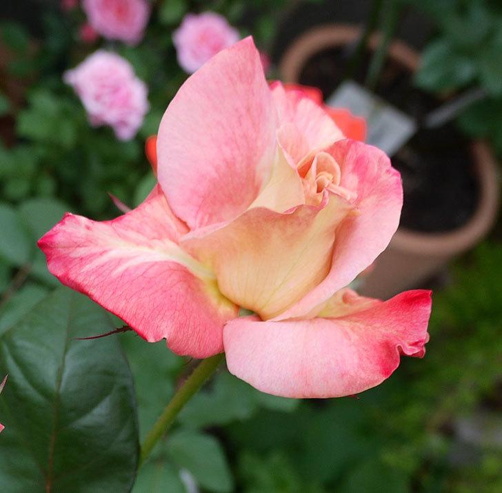 アブラカタブラ(木立バラ)がまた咲いた。2017年-4.jpg