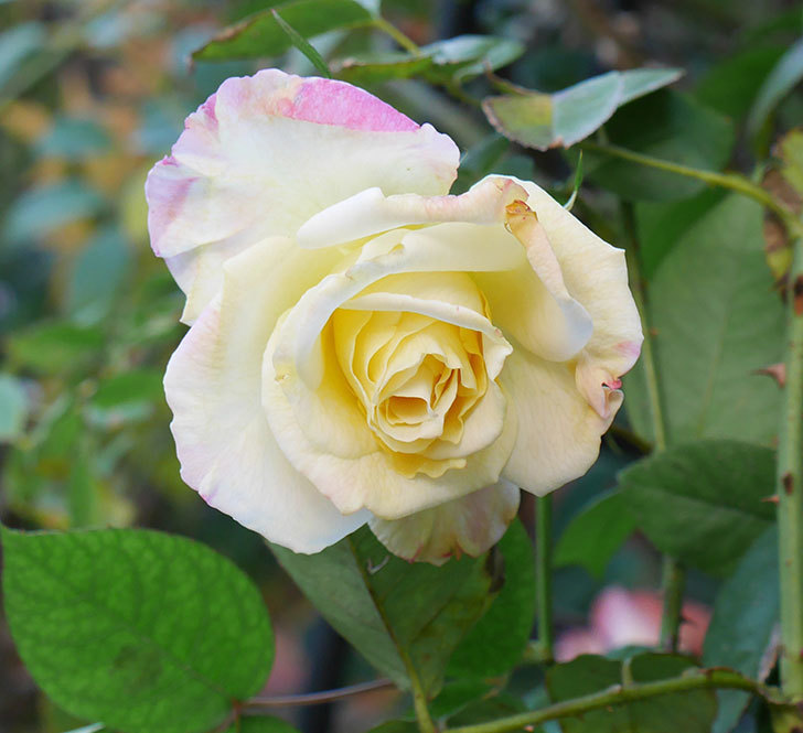 アブラカタブラ(木立バラ)にクリーム色の花が咲いた。2020年-1.jpg