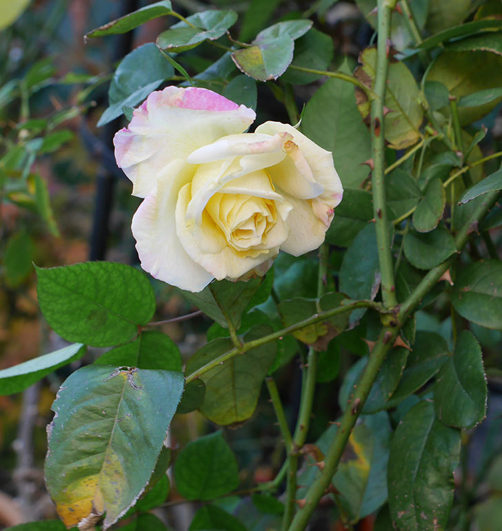 アブラカタブラ(木立バラ)にクリーム色の花が咲いた。2020年-2.jpg