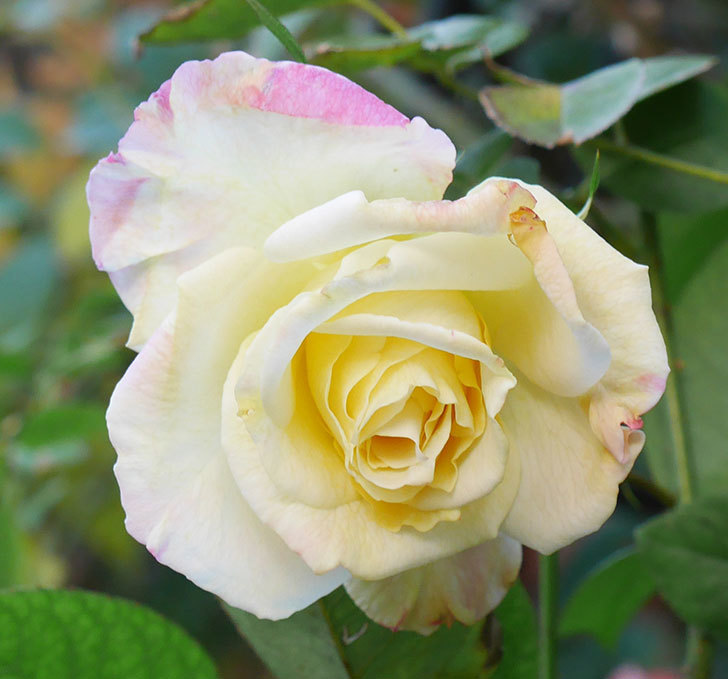 アブラカタブラ(木立バラ)にクリーム色の花が咲いた。2020年-3.jpg