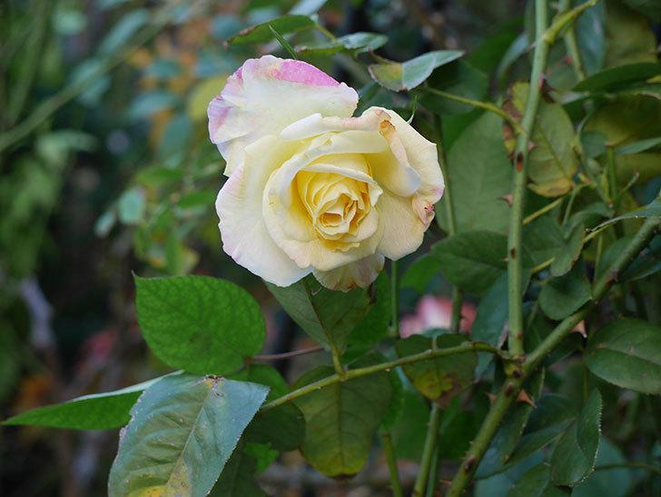 アブラカタブラ(木立バラ)にクリーム色の花が咲いた。2020年-4.jpg