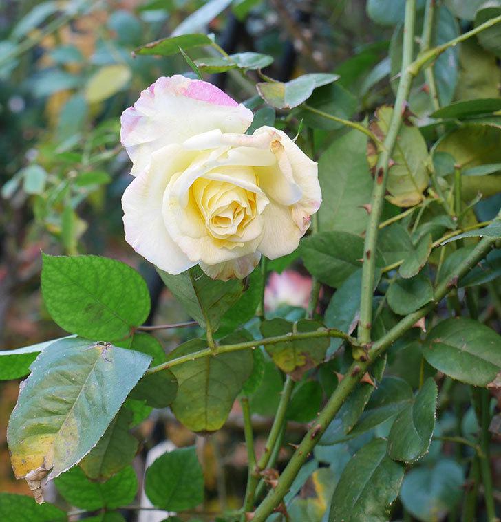 アブラカタブラ(木立バラ)にクリーム色の花が咲いた。2020年-5.jpg