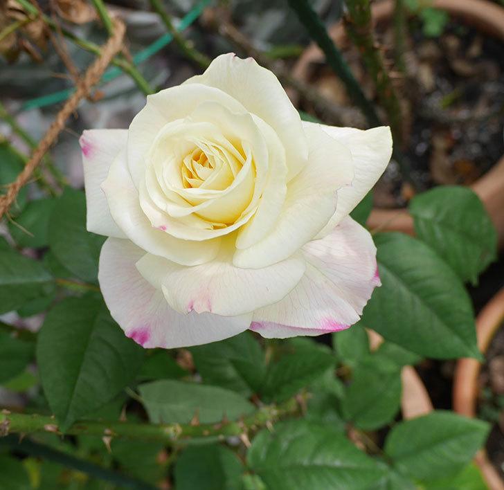 アブラカタブラ(木立バラ)に白い花が咲いた。2018年-1.jpg