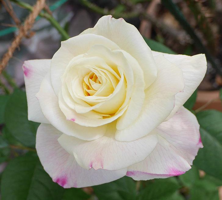 アブラカタブラ(木立バラ)に白い花が咲いた。2018年-2.jpg