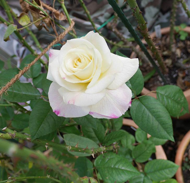 アブラカタブラ(木立バラ)に白い花が咲いた。2018年-3.jpg
