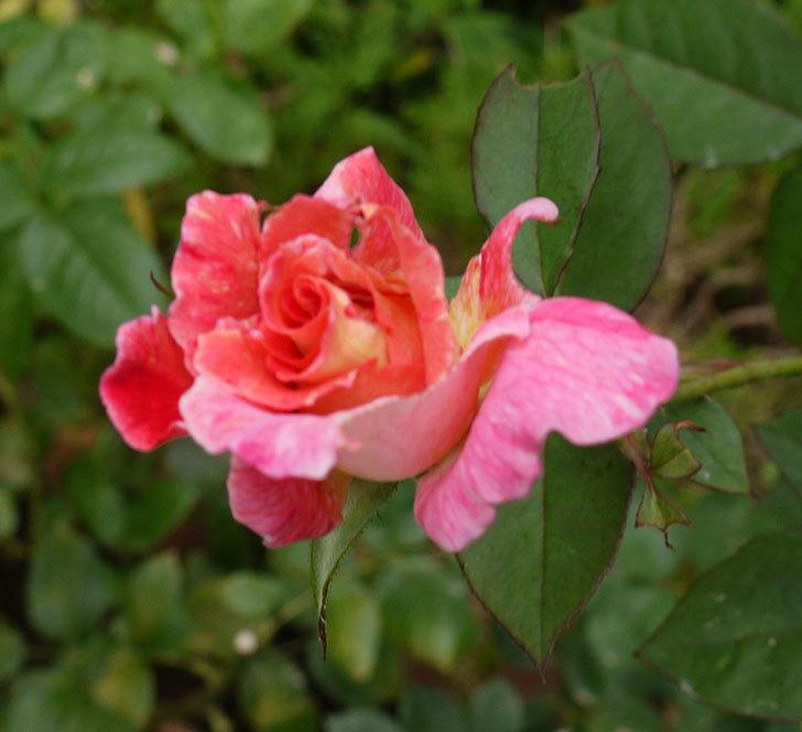 アブラカタブラ(木立バラ)の2番がたくさん咲いた。2016年-5.jpg
