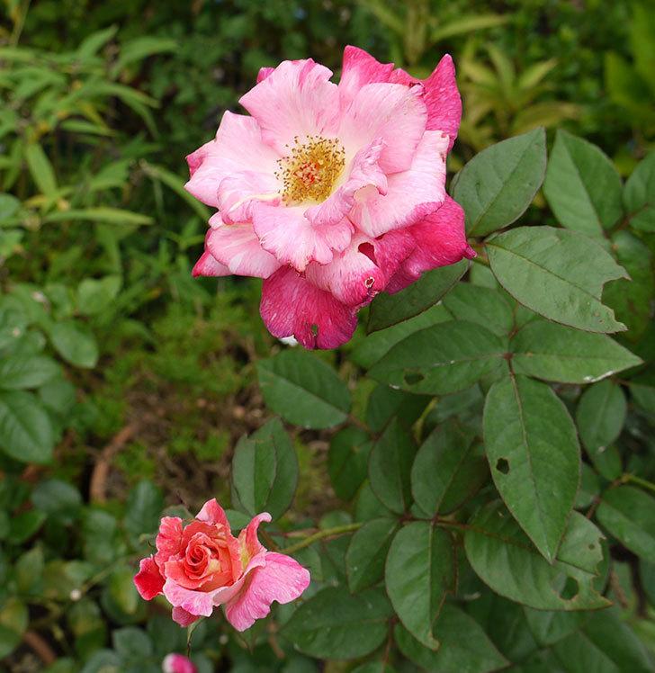アブラカタブラ(木立バラ)の2番がたくさん咲いた。2016年-6.jpg