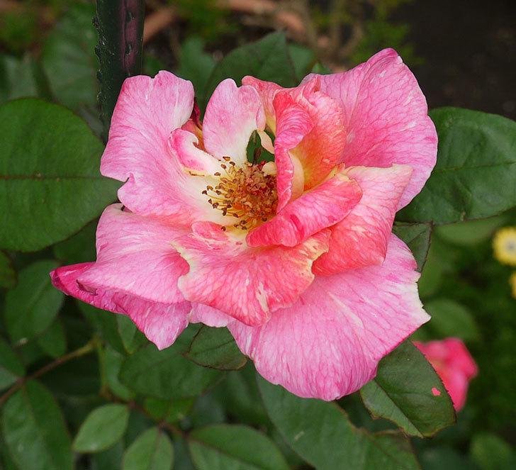 アブラカタブラ(木立バラ)の2番がたくさん咲いた。2016年-7.jpg