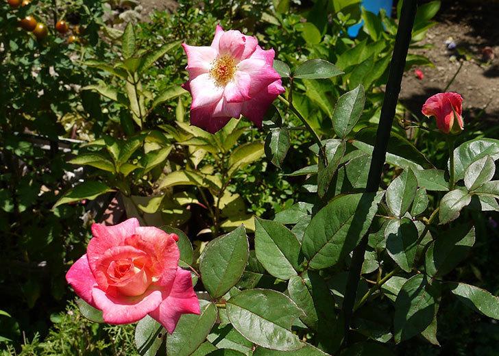 アブラカタブラ(木立バラ)の2番花が3個咲いた。2016年-1.jpg