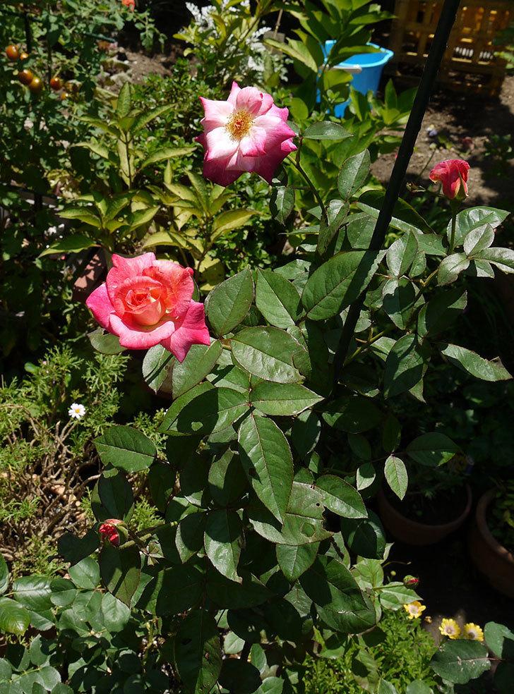 アブラカタブラ(木立バラ)の2番花が3個咲いた。2016年-5.jpg