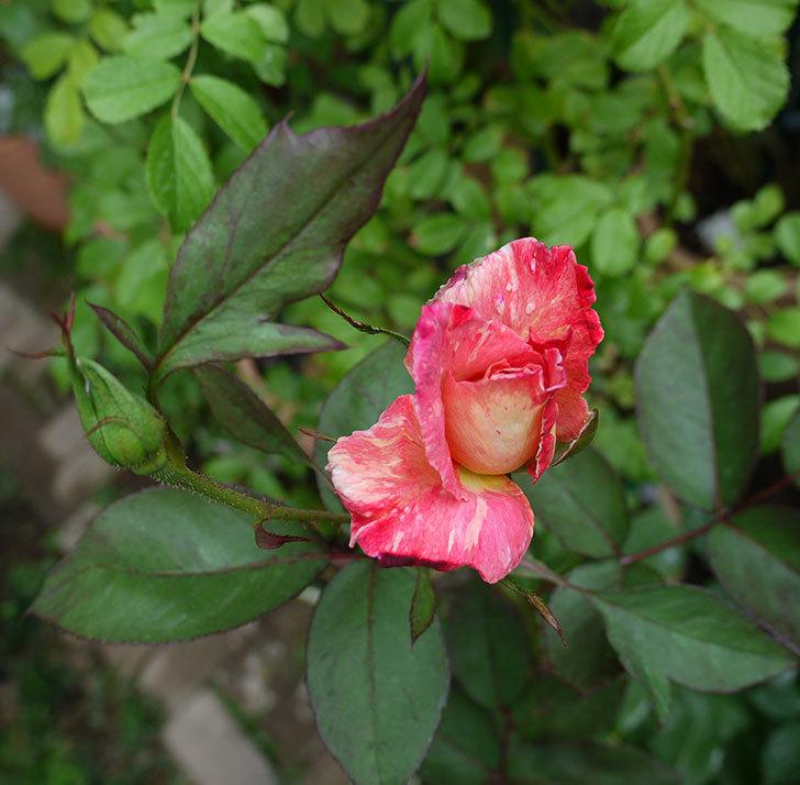 アブラカタブラ(木立バラ)の2番花がまた咲いた。2017年-2.jpg